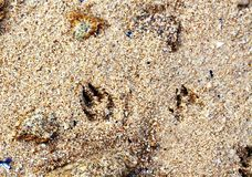 Paw prints. In wet sand at the beach with rocks stock photography