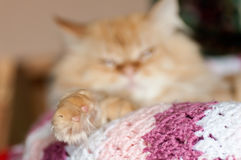 Paw red cat lies on a knitted blanket Royalty Free Stock Image