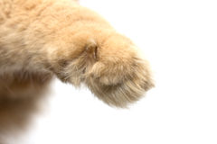 Paw red cat Royalty Free Stock Image