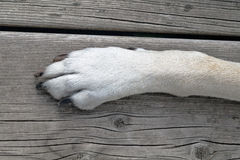 Paw Royalty Free Stock Images