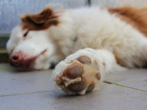Paw of resting Australian Shepherd dog Royalty Free Stock Photo