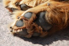 Paw of sleeping dog Royalty Free Stock Image