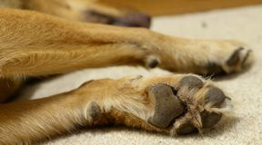 Paw of Sleeping Kelpie Dog. Stock Images