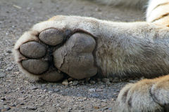 Paw. The paw of a tiger Stock Image