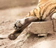 Paw of a tiger in zoo. In the park in nature Stock Images
