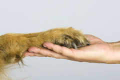 Paw vs hand Stock Photo