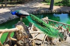 Paw w Parkowym Sama Fotografia Stock
