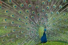 Paw w swój pięknie Fotografia Royalty Free