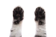 Paw  on white background Royalty Free Stock Photography