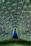 Paw z ogonu rozszerzaniem się Zdjęcie Royalty Free