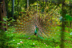 Paw Zamyka up paw pokazuje swój pięknych piórka paw piękna Męski paw wystawia jego ogonów piórka spread obraz stock