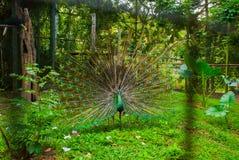 Paw Zamyka up paw pokazuje swój pięknych piórka paw piękna Męski paw wystawia jego ogonów piórka spread zdjęcie royalty free
