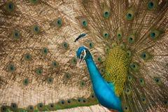 Paw Zamyka up paw pokazuje swój pięknych piórka Zdjęcie Stock