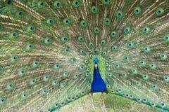 Pawi Dispaying wzorzystości Jaskrawi piórka Zdjęcia Royalty Free