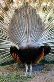 Pawi fan Zdjęcie Royalty Free