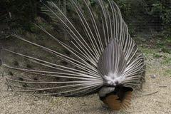 Pawi krupon Zdjęcie Royalty Free