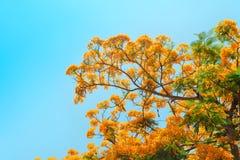 Pawi kwiat Fotografia Stock