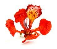Pawi kwiat, Delonix regia, odizolowywający na białym bac Zdjęcia Royalty Free