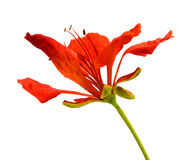 Pawi kwiat, Delonix regia, odizolowywający na białym bac Zdjęcie Royalty Free