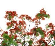 Pawi kwiaty Fotografia Royalty Free