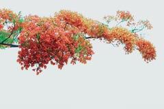 Pawi kwiaty obraz stock