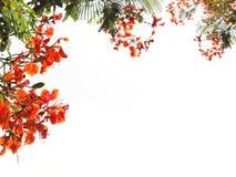 Pawi kwiaty lub Barbadose duma Obrazy Stock