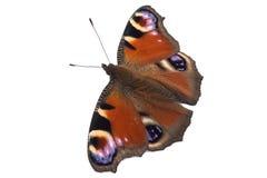 Pawi motyl Zdjęcie Royalty Free