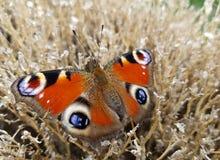 Pawi motyl Zdjęcia Royalty Free