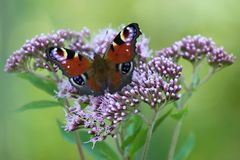 Pawi motyl Obrazy Stock