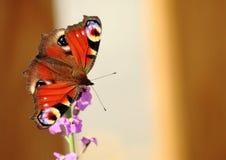 Pawi motyl Obrazy Royalty Free