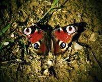 Pawi motyl Aglais io Zdjęcia Royalty Free