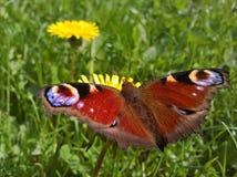 Pawi motyl Aglais Io - Czaijący się Fotografia Royalty Free