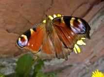 Pawi motyl Aglais Io - Czujny zdjęcie stock