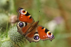 Pawi motyl Aglais io nectaring na osecie kwitnie Fotografia Royalty Free