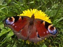Pawi motyl Aglais Io - rozszerzanie się Obraz Royalty Free