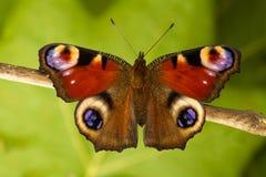 Pawi motyl Aglais io, wczesna wiosna Obraz Royalty Free