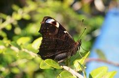 Pawi motyl Aglais io z fałdowymi skrzydłami przy wiosną przed krzakiem Fotografia Stock