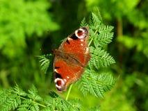 Pawi motyl (inachis io) Obrazy Royalty Free