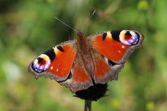 Pawi motyl na łące - szczegół obraz royalty free