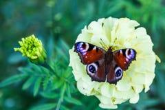 Pawi motyl na żółtym kwiacie zdjęcie royalty free