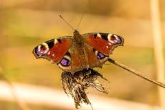 Pawi motyl na gałąź Zdjęcie Stock