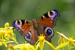 Pawi motyl w naturze Zdjęcie Stock