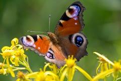 Pawi motyl w naturze Zdjęcia Royalty Free
