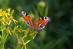 Pawi motyl w naturze Obrazy Royalty Free