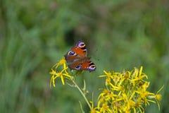 Pawi motyl w naturze Zdjęcie Royalty Free