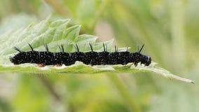 Pawi motyl & x28; Aglais io& x29; opóźniona instar gąsienica Zdjęcie Royalty Free