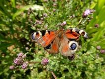 Pawi motyl z łamanymi skrzydłami na kwiacie, Aglais io Zdjęcie Stock
