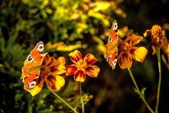 Pawi motyle na kwiacie Zdjęcia Stock