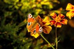 Pawi motyle na kwiacie Obraz Stock