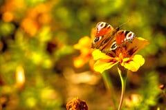 Pawi motyle na kwiacie Zdjęcia Royalty Free